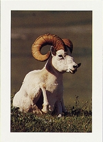 DALL SHEEP, ALASKA