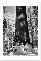 REDWOOD TREE, MARIPOSA GROVE, WINTER, YOSEMITE NATIONAL PARK, CA, c 1937