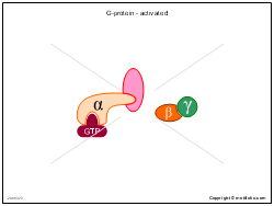 G-protein - activated