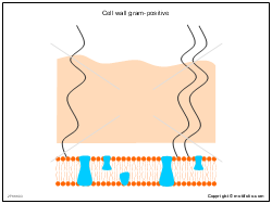 Cell wall gram-positive