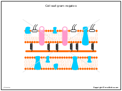 Cell wall gram-negative