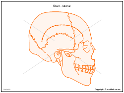 Skull - lateral