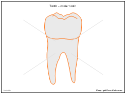 Tooth � molar tooth