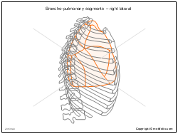 Broncho-pulmonary segments � right lateral