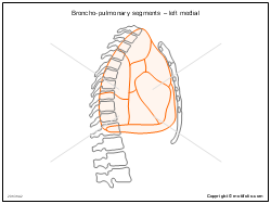 Broncho-pulmonary segments � left medial