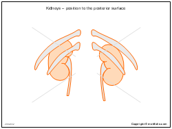 Kidneys � position to the posterior surface