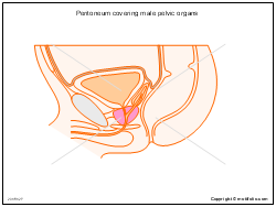 Peritoneum covering male pelvic organs