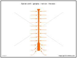 Spinal cord � ganglia � nerves - thoracic