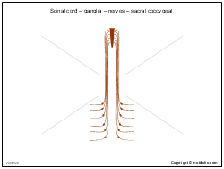 Spinal cord � ganglia � nerves � sacral coccygeal