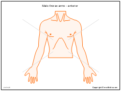 Male thorax arms - anterior