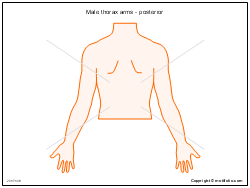 Male thorax arms - posterior