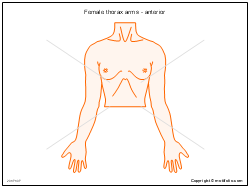 Female thorax arms - anterior