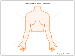 Female thorax arms - posterior