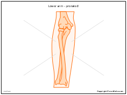 Lower arm - pronated