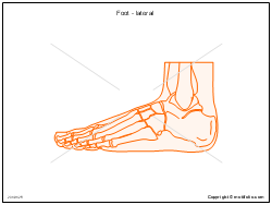 Foot - lateral