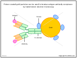 Protein coated gold particles can be used to localize antigen-antibody complexes by transmission electron microscopy