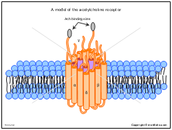 A model of the acetylcholine receptor