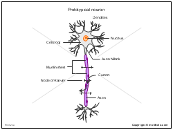 Prototypical neuron