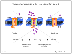 Three conformation state of the voltage-gated Na channel