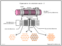 Organization of a skeletal muscle-2