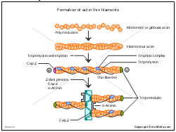 Formation of actin thin filaments