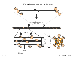 Formation of myosin thick filaments