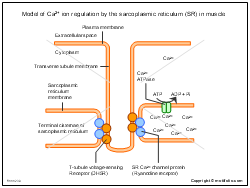 Model of Ca2 ion regulation by the sarcoplasmic reticulum in muscle
