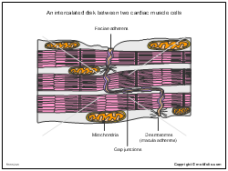 An intercalated disk between two cardiac muscle cells