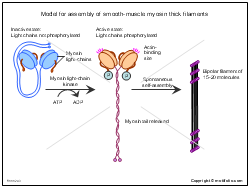 Model for assembly of smooth-muscle myosin thick filaments