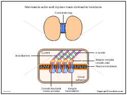 Nonmuscle actin and myosin have contractile functions