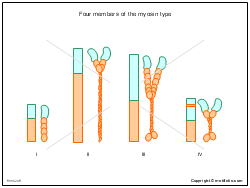 Four members of the myosin type