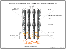 Bundled actin filaments have a structural function within microvilli