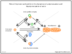 Role of thymosin and profilin in the dynamics of polymerization and depolymerization of actin