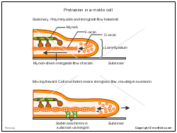 Protrusion in a motile cell
