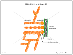 Role of formins and Arp 2 3
