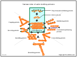 Various roles of actin-binding proteins