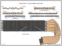 Assembly of intermediate filaments