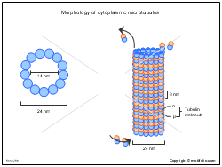 Morphology of cytoplasmic microtubules