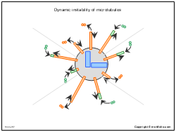 Dynamic instability of microtubules
