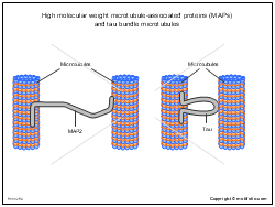 High molecular weight microtubule-associated proteins and tau bundle microtubules