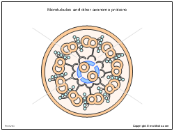 Microtubules and other axoneme proteins