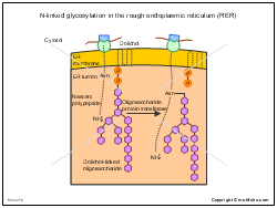 N-linked glycosylation in the rough endoplasmic reticulum RER