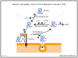 Calnexin and quality control in the endoplasmic reticulum ER