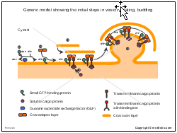 Generic model showing the initial steps in vesicle coating budding
