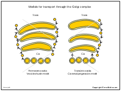 Models for transport through the Golgi complex