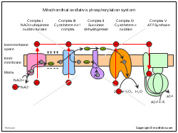 Mitochondrial oxidative phosphorylation system