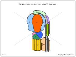 Structure of the mitochondrial ATP synthesis