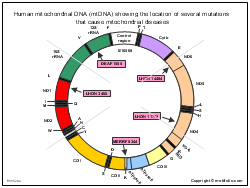 Human mitochondrial DNA mtDNA showing the location of several mutations that cause mitochondrial diseases