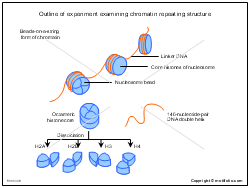 Outline of experiment examining chromatin repeating structure