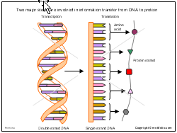 Two major steps are involved in information transfer from DNA to protein